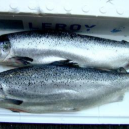 新鮮三文魚 FRESH SALMON