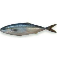 油金魚(又称:油甘鱼、鰤鱼) HAMACHI はまち