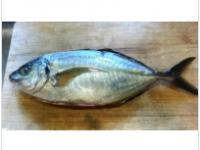 縞參魚SHIMA AJI