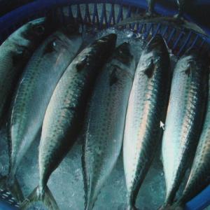 鯖魚 SABA 600G+ MACKREL